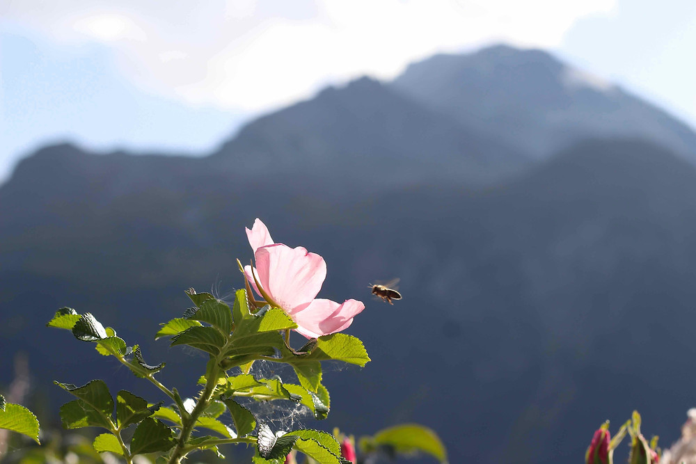 Bee pollinating Rosa rugosa in the Alps