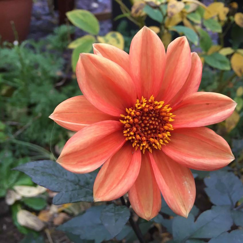 Dahlia 'Bishop's Children' orange