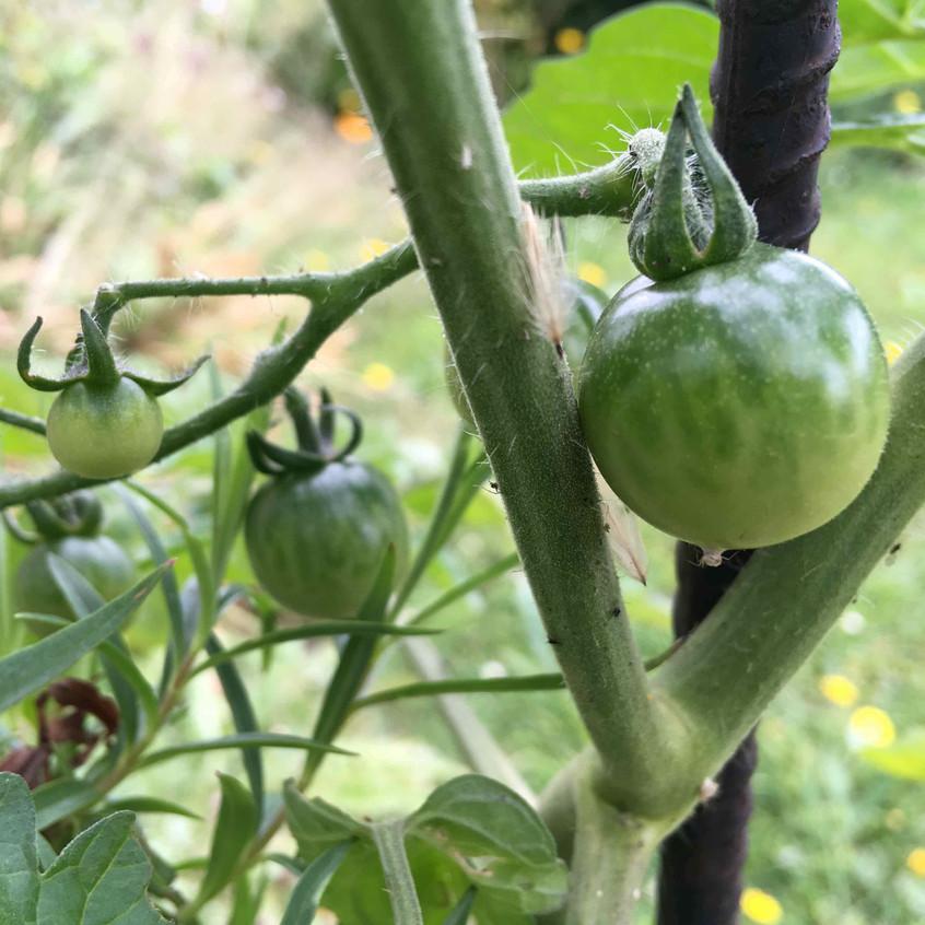 Tomatoes establishing