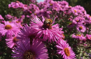 Aster in the pink & bee.jpg