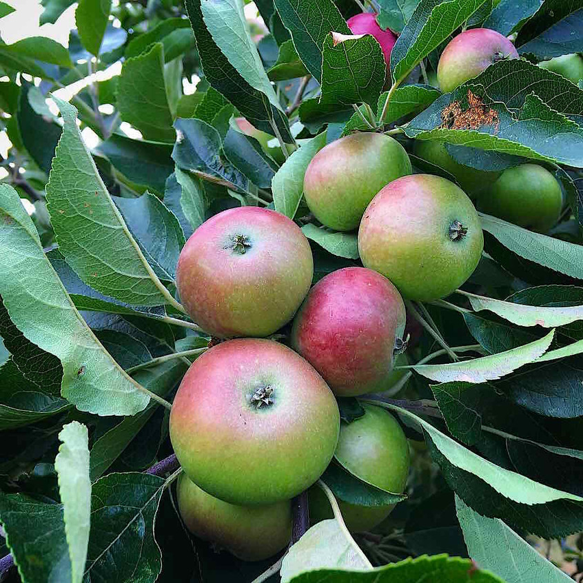 Apples almost ready to harvest