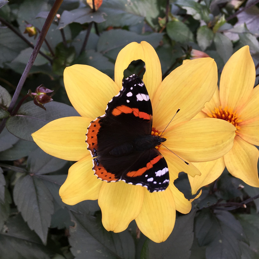 Red admiral on dahlia