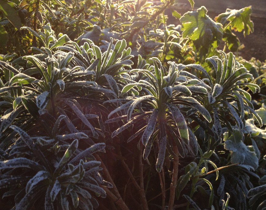 Euphorbia in the frosty November light