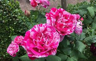 Ferdinand Pichard rose.jpeg