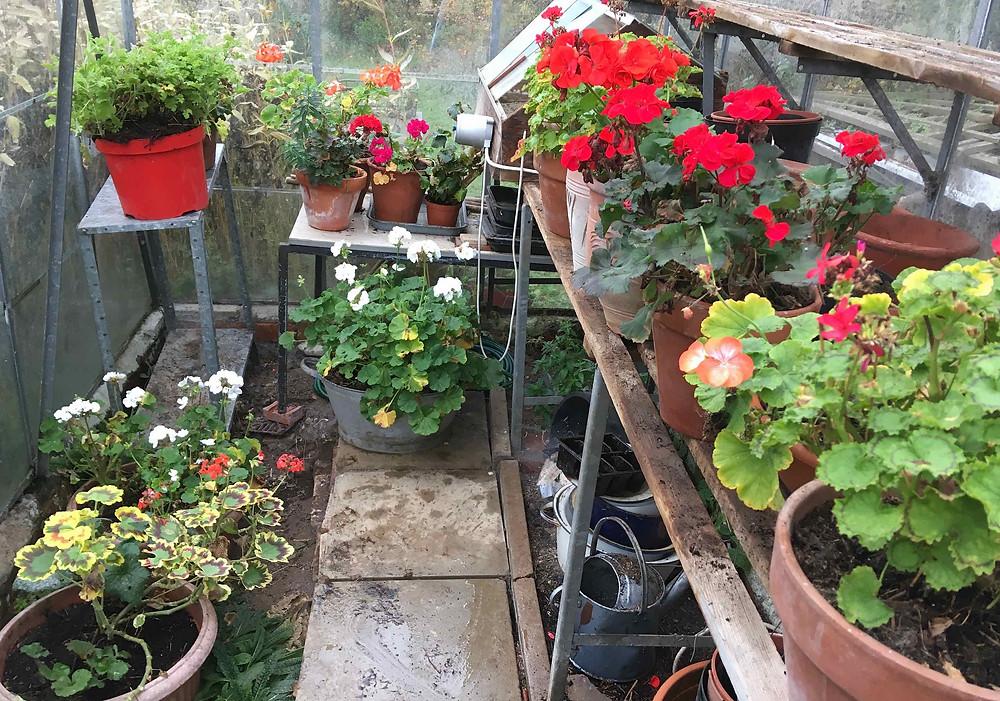 Over wintering pelargoniums - do not over water