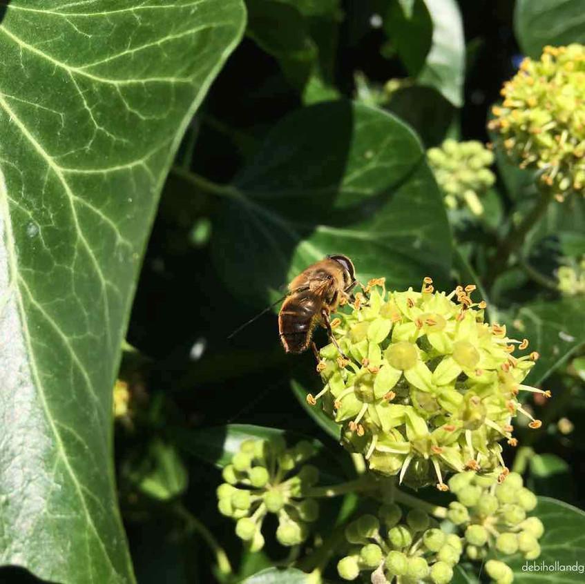 Ivy - bee feasting