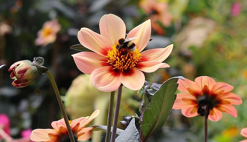 Single flowered dahlia enjoyed by pollinators