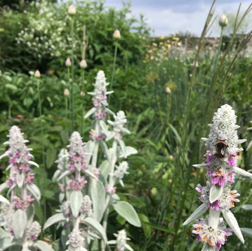 Pollinators enjoy Stachys byzantina
