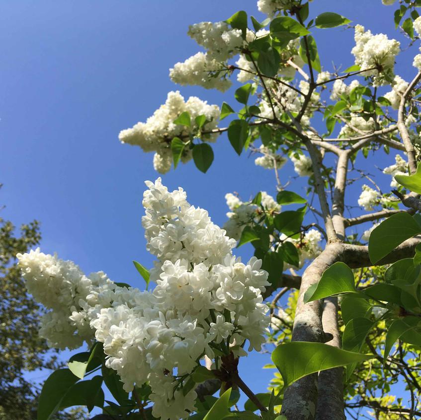Lilac alba
