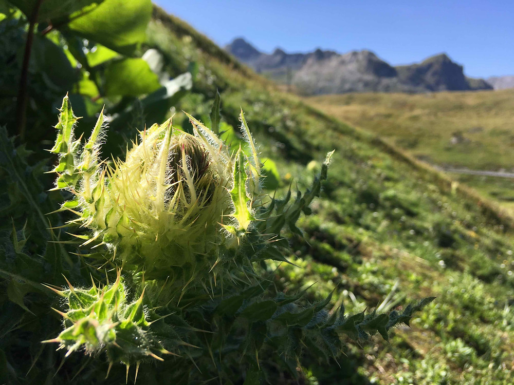 Cirsium spinosissimum, Spiniest thistle at the French Italian Alps border