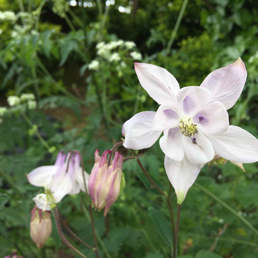 Aquilegia pure & simple