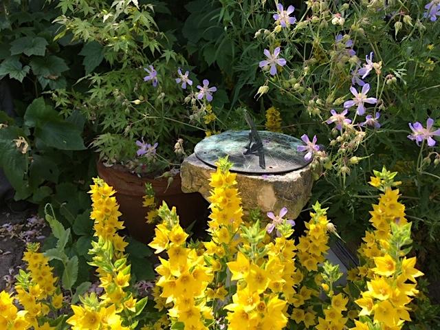 Sundial peeking out of blooms