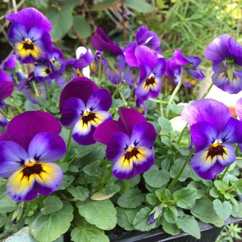 Winter pots - violas