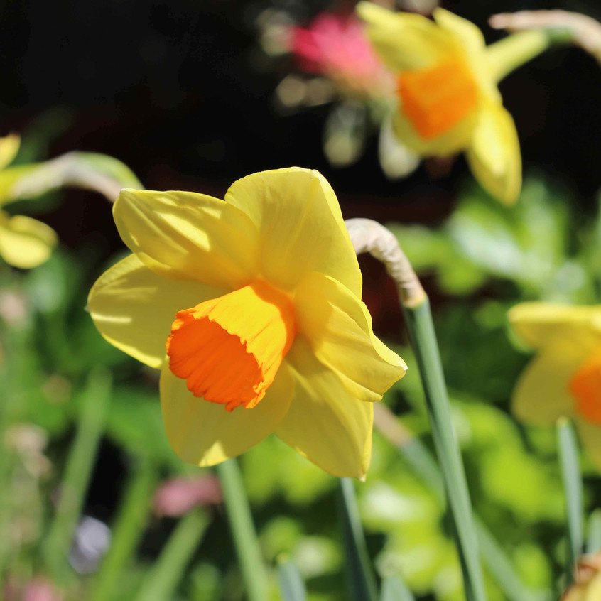 Narcissus mellow yellow