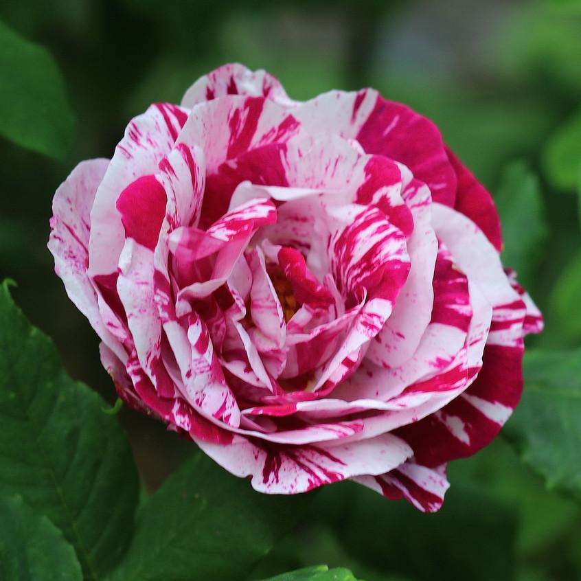 Rose Variegata Bologna