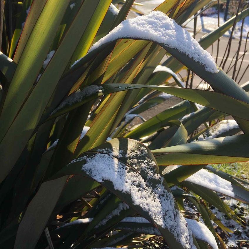 Snow covered Phormium tenax