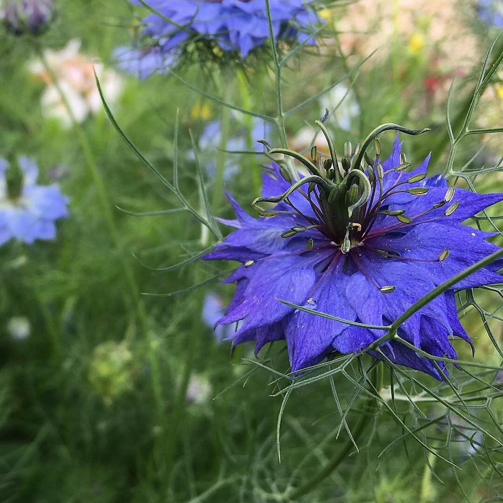 Beautiful blue hues of Nigella 'Love-in-a-Mist'