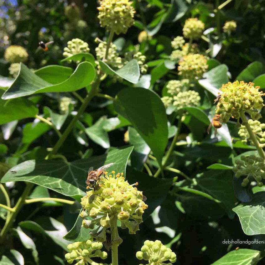 Ivy - pollinator party