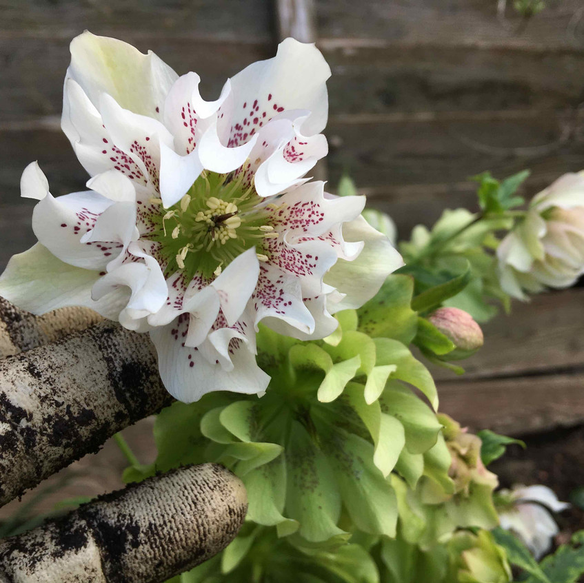 Exquisite double hellebores
