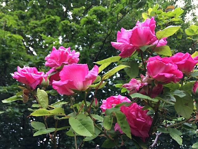 Sumptious climbing rose