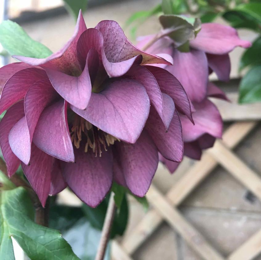 Adorable this dark double Helleborus flower head