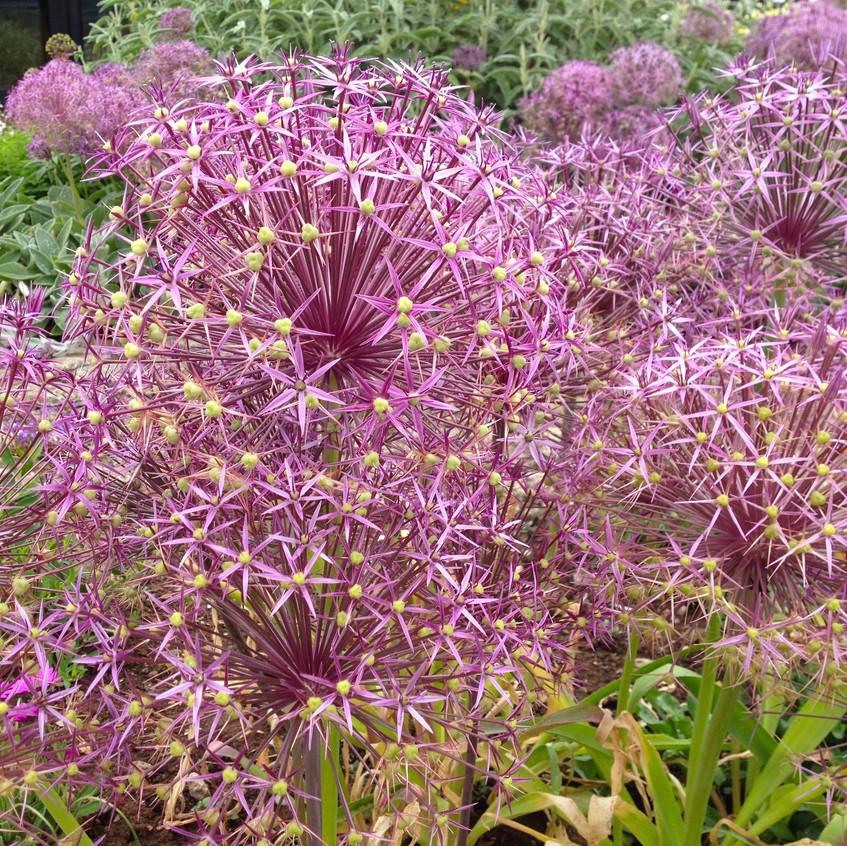 Allium 'Christophii'