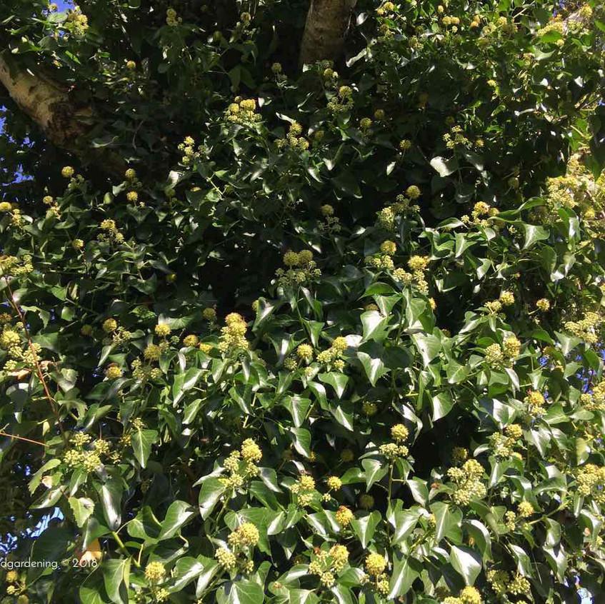 Ivy & Betula pendula