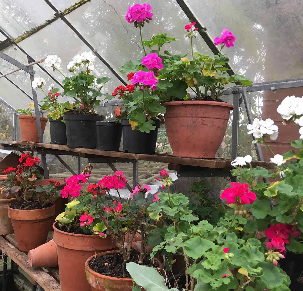 Reduce watering pelargoniums. Check for grey mould/Botrytis