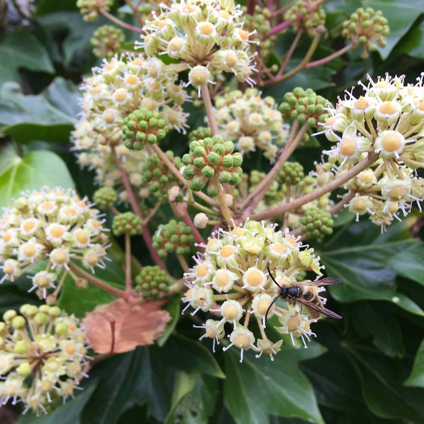 Bee feasting on ivy