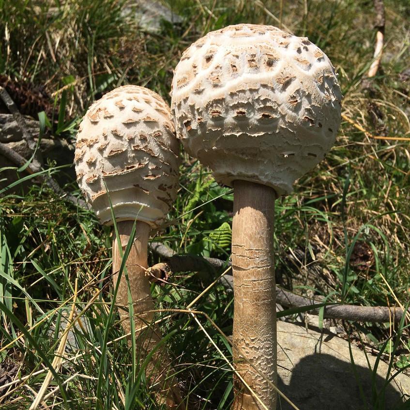 Macrolepiota procera, high lépiote