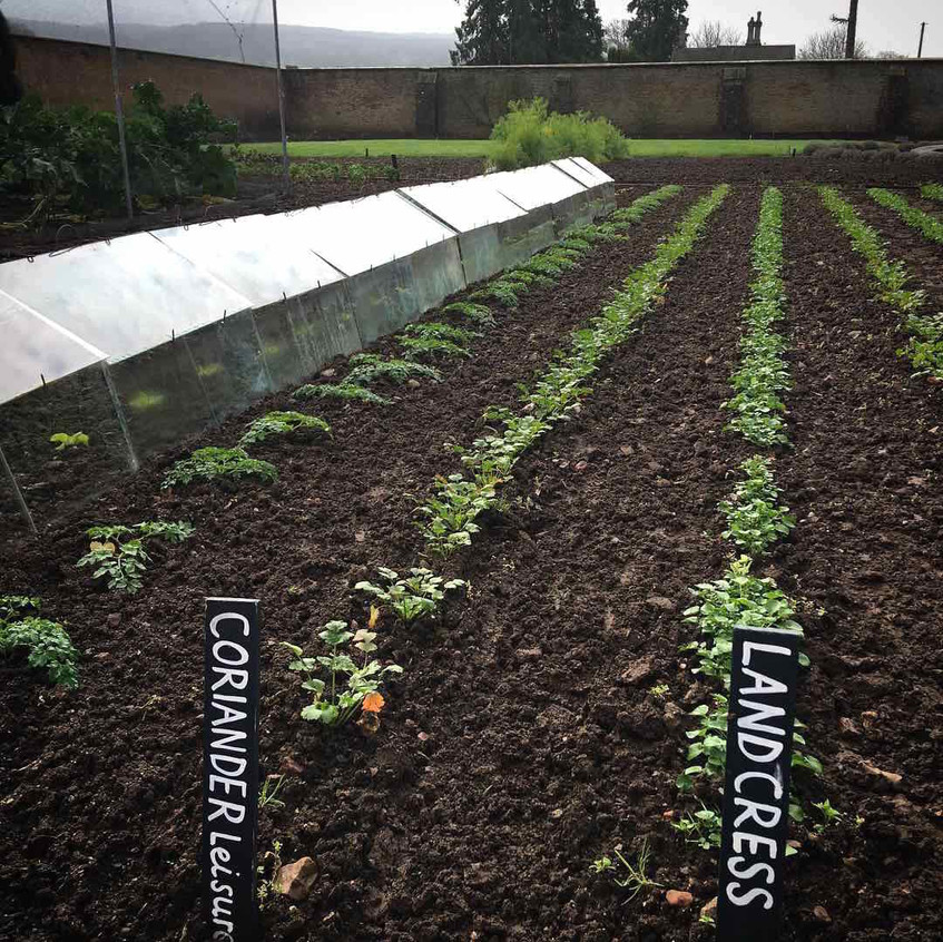 Perfect rows coriander & land cress