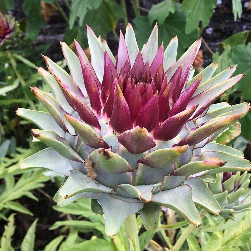 Cardoon flower head