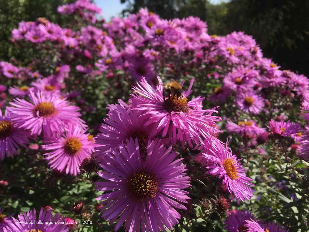 Amazing asters & bee
