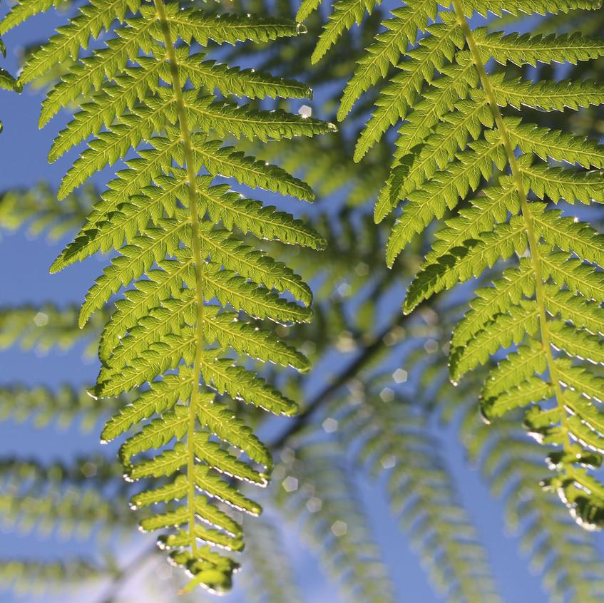 Tree Fern fronds detail