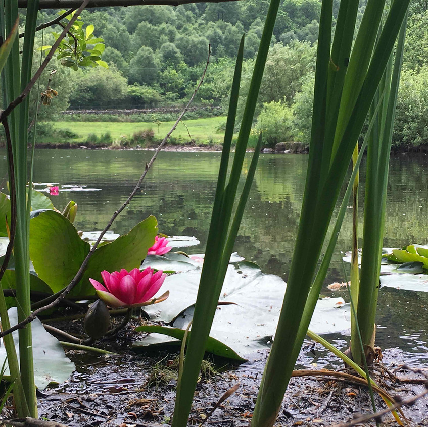 Waterlilies emerge from lake