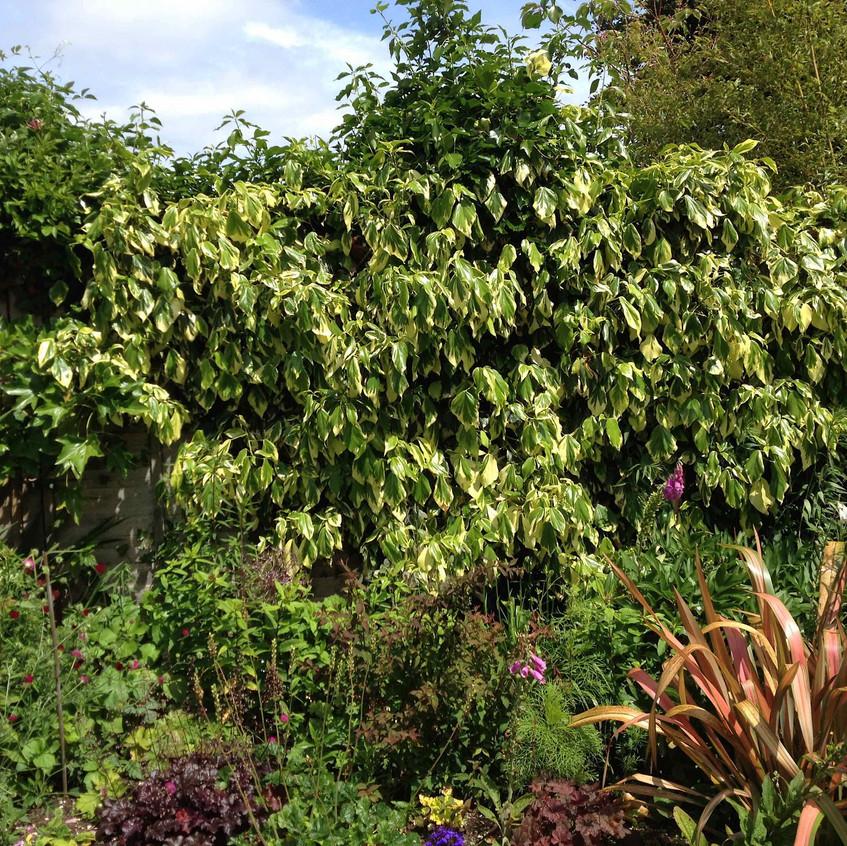 Varigated ivy & phormium