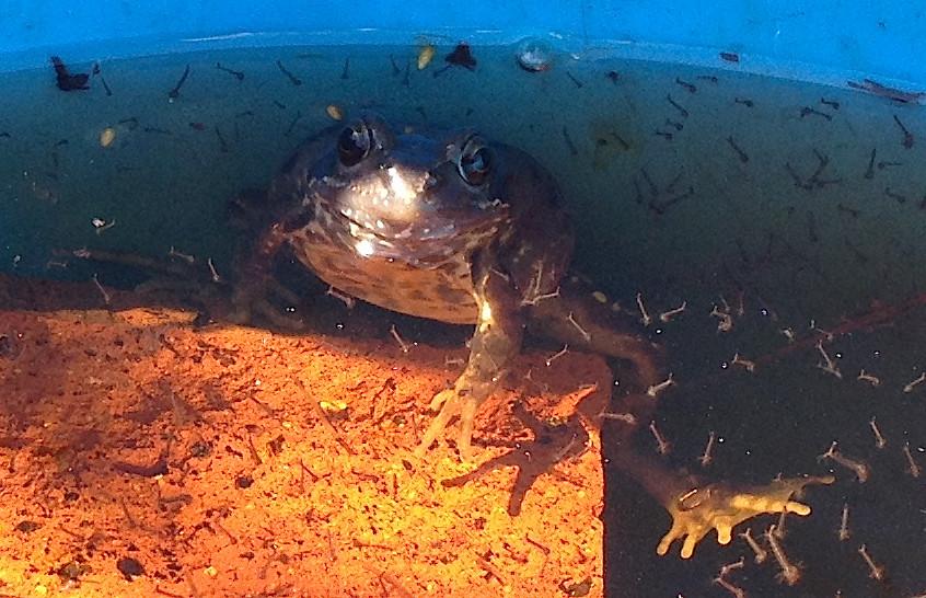 Pondlife - resident frog