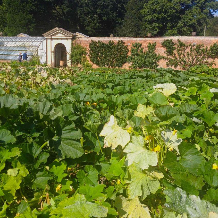 Pumpkin patch in walled garden