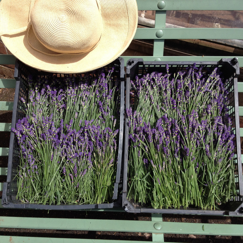 Freshly harvested lavender