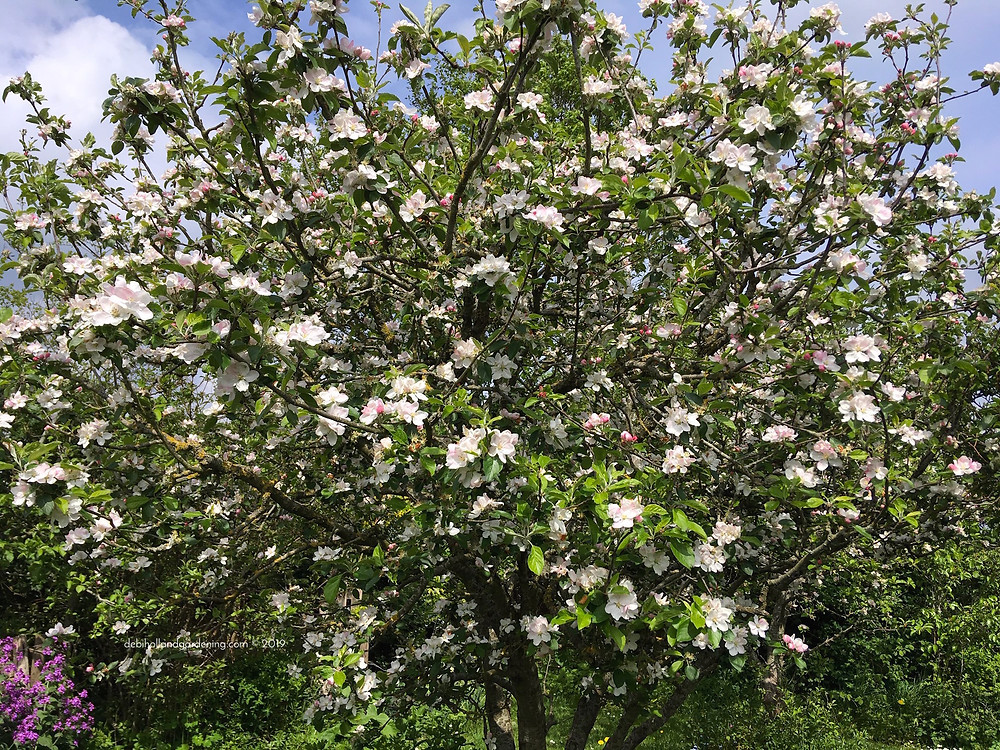 Malus 'Winston' ladened with apple blossom