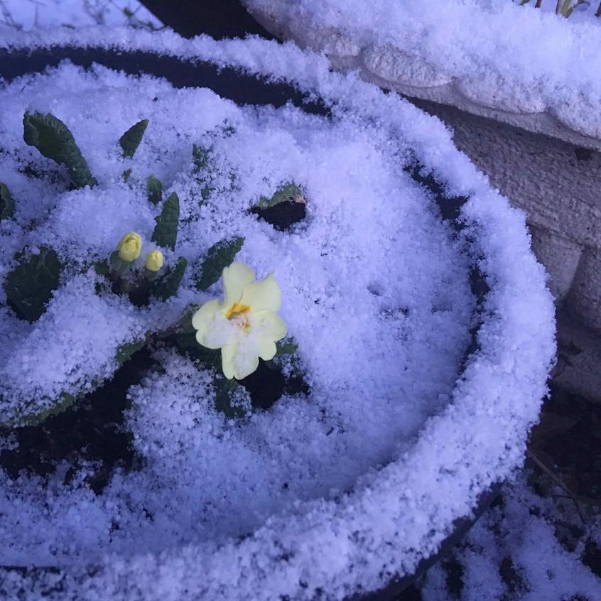 Emerging primroses