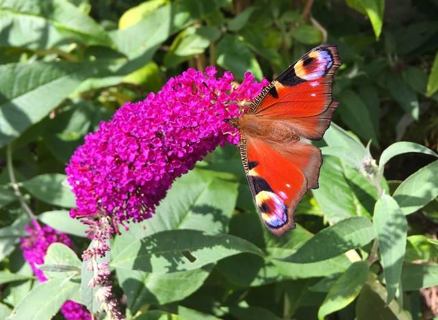 Peacock butterfly on 'Buzz Magenta' buddleja