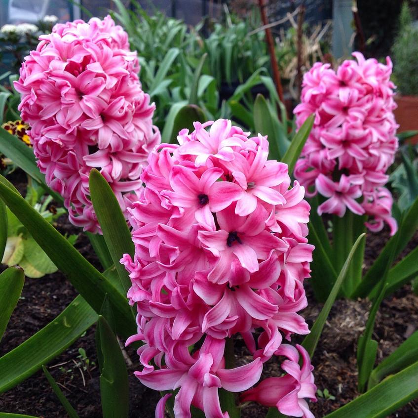 Hyacinths 'Pink Pearl'