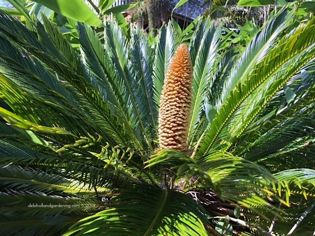 Japanese Sago Palm, Cycas revoluta