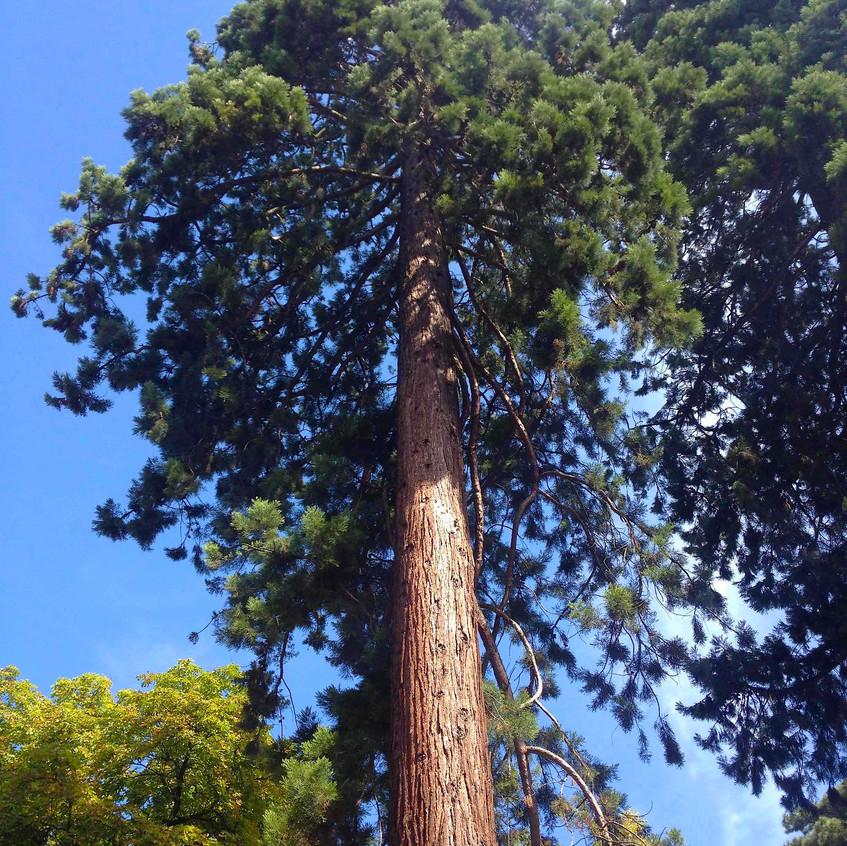 Redwoods feature in the Arboretum