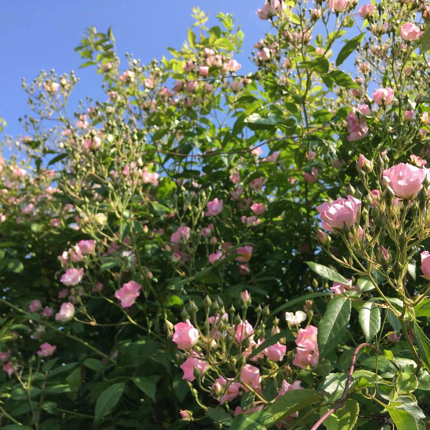 Rosa 'Somerset Pink'