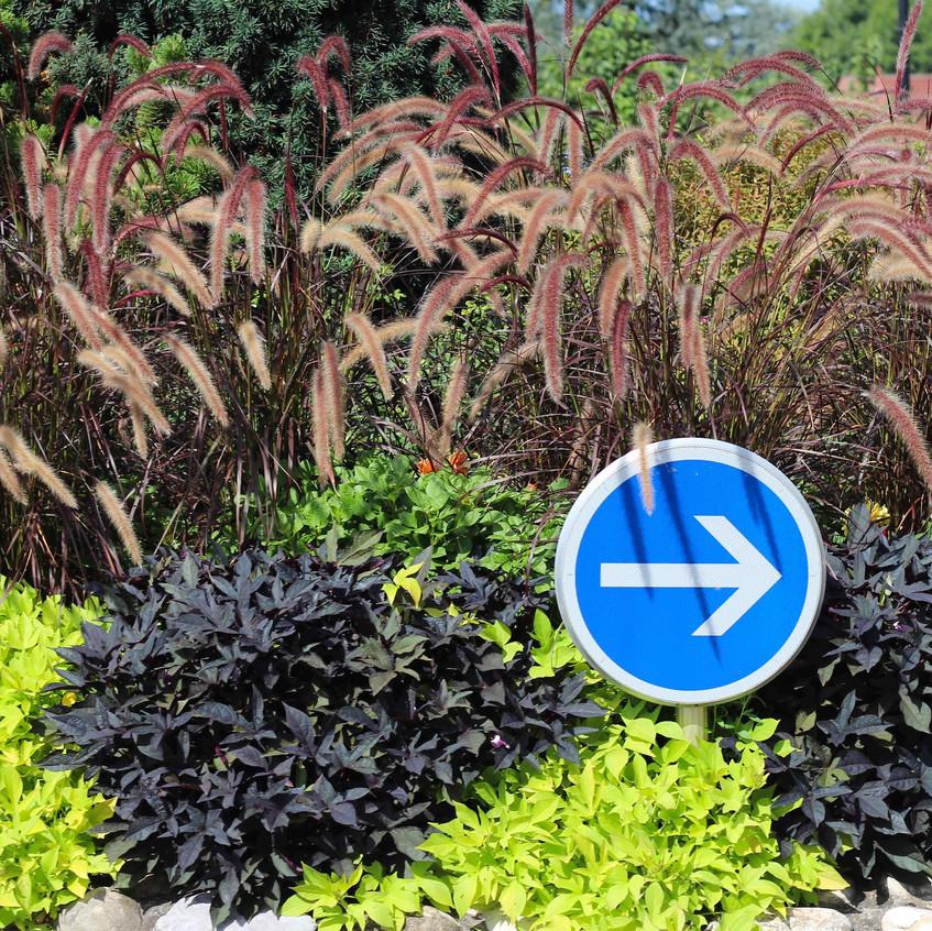 Roundabout  Pennisetum alopecuroides