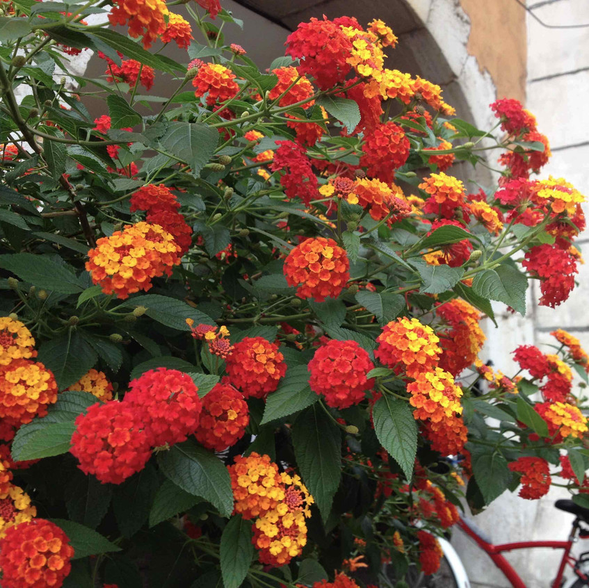 Lantana. Vibrant municipal planting