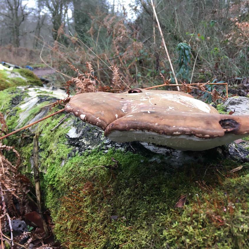 Polypore, bracket fungi on dead wood