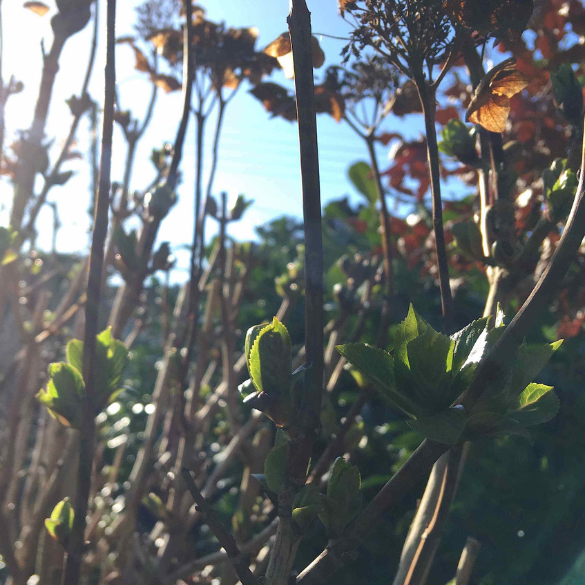 Hydrangea buds spring back to life